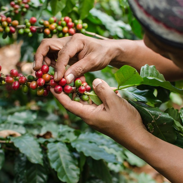 OCFCU : OROMIA Coffee Farmers Cooperative Union